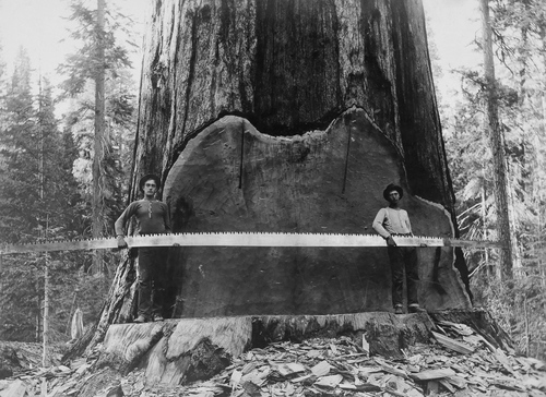 Loggers hold a cross-cut saw across a giant Sequoia tree's trunk